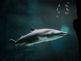 aceite de tiburon