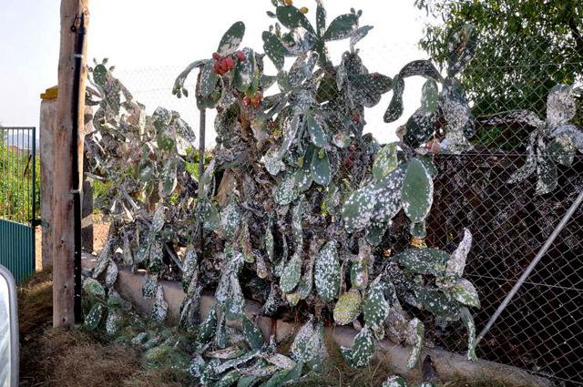 The Cochinilla del Carmin devastates prickly pears